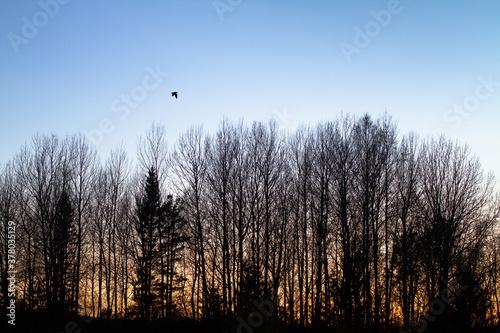 woodcock flying over the forest in the evening Billede på lærred