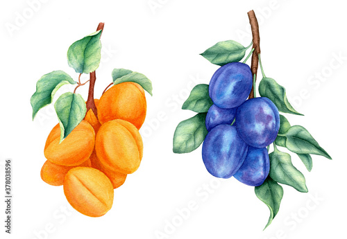 Vintage collection of fruits with plums and apricots watercolor botanical illustration