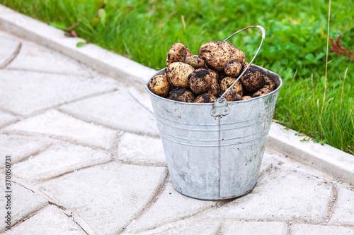 Metal bucket full of fresh potatoes #378050731