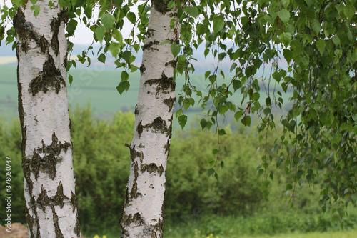 Tela Closeup focus shot of paper birch tree trunk