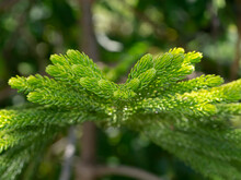 Close Up Of Norfolk Island Pine Leaves Background.