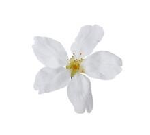 Beautiful Almond Flowers Big S...