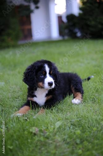 Photo Cucciolo  di cane del bernese, nel prato che osserva