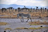 Zebra Granta (Equus quagga boehmi) zwana też zebrą równikową. Rezerwat Buffalo Springs (Kenia)