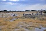 Zebry Granta (Equus quagga boehmi) zwane też zebrami równikowymi. W tle antylopy oryx. Wieczór, rezerwat Buffalo Springs (Kenia)