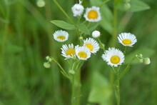 Flowers Of Annual Fleabane, Erigeron Annuus,beautiful Erigeron Annuus Closeup, Annual Fleabane , Daisy Fleabane