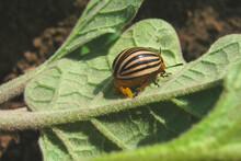 Plant Pest Colorado Potato Beetle. Lays Eggs.