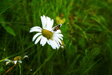 Yellow And Black Striped Beetle Sitting On A Daisy Close Up On The Background Of Lush Green Summer Grass