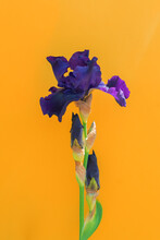 Beautiful Blue Iris Flower On Yellow Background With Copy Space. Summer Blossom