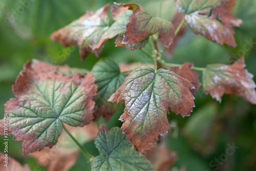 Obraz na plátně blackcurrant wilt disease is caused by fungi of genus Fusarium or Verticillium