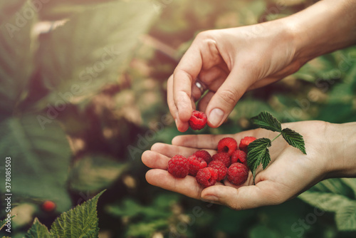 Female hands holding fresh red raspberries on background branch of berries at sunset. Freshly harvest. Healthy eating, dieting fruits, toning, close up