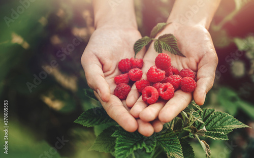 Foto Female hands holding fresh red raspberries on background branch of berries at sunset