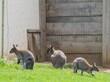 canvas print picture - Kängurus in Wildtierpark