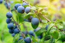 Ripe Plums On A Branch After T...