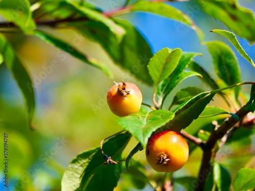 Fotografie, Obraz Fruits of the cut-leaf crabapple