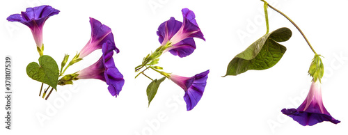 blooming purple morning gloria on white background Tableau sur Toile