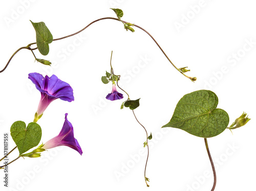 Photographie blooming purple morning gloria on white background