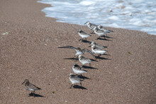 Common Sandpipers  Actitis Hyp...