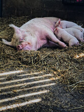 Mother Pig And Piglets Suckling In Barn.