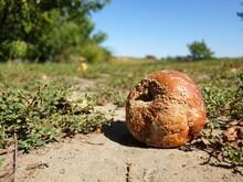Rotten Apple On The Ground, So...