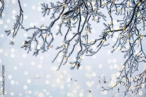Fototapeta Winter new year christmas concept. Branches in white frost and sparkling lights. Blurred winter natural background. obraz