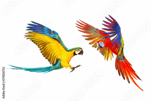 Obraz na plátne Macaw parrots flying isolated on white background.
