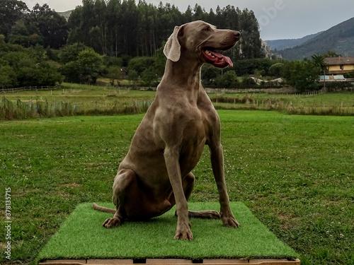 Obraz na plátně great dane dog