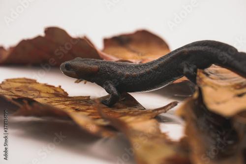 Fototapeta Crocodile newt (Tylototriton panhai) standing on dried leaves