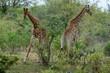 Girafe, Giraffa Camelopardalis, Parc national Kruger, Afrique du Sud