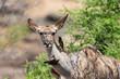 Piqueboeuf à bec rouge, Red billed Oxpecker, Buphagus erythrorhynchus, Grand koudou, Tragelaphus strepsiceros, femelle, Parc national Kruger, Afrique du Sud