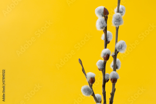 Fotografie, Obraz willow branches with fluffy gray buds on yellow background