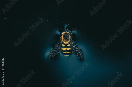 bee on the water, close-up, top view