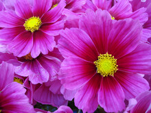 Vibrant Pink Daisy Background