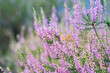 canvas print picture - The female heather blue  (Plebeius argus) butterfly on flowering pink heather