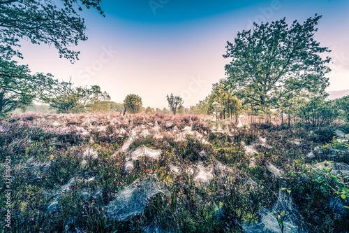 Fotografie, Obraz Spinnennetze in der Lüneburger Heide bei Sonnenaufgang