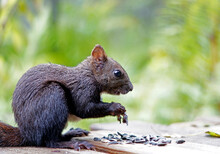 Black Squirrel Sits And Nibbles Seeds