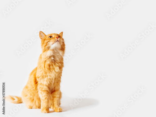 Fototapeta Cute ginger cat sits and stares on something. Fluffy curious pet. Fuzzy domestic animal on white background with copy space. obraz