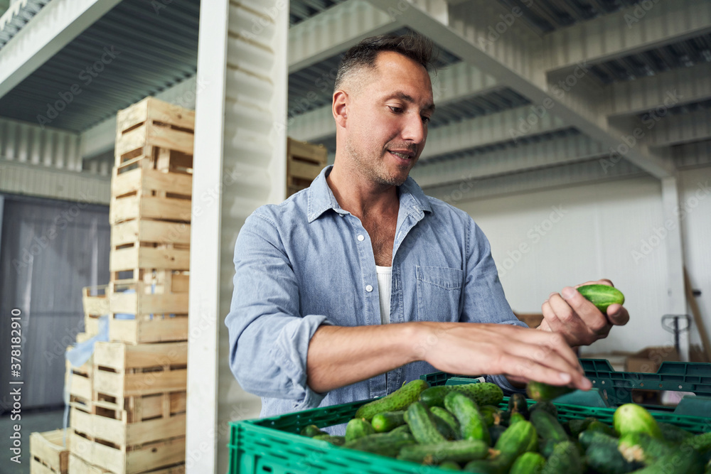 Fototapeta Worker in warehouse sorting cucumbers