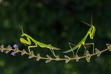 Green Praying Mantis On Flower...
