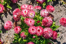 Floral Background Of Perennial Double Pink Daisies