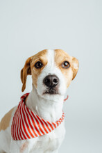 Mixed Race Jack Russell Portrait