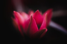 A Gorgeous Red Tulip Glowing I...