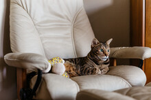 Bengal Cat With Two Broken Legs