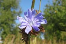 Beautiful Chicory Flower On Blue Sky Background