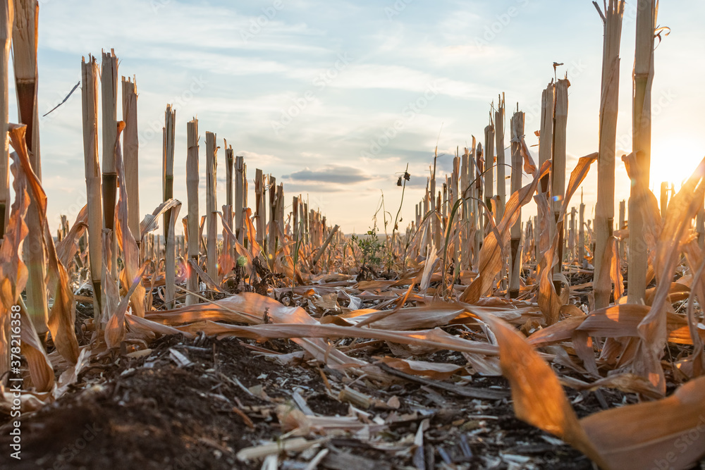 Fototapeta Harvested maize during golden hour with the rows of cut stubble