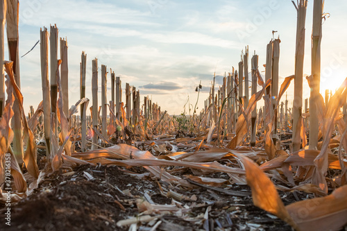 Fotografering Harvested maize during golden hour with the rows of cut stubble
