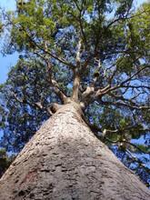 Tall Copaiba Tree
