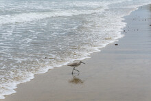 Pájaro Willet A La Orilla Del...