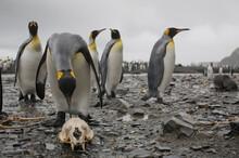 King Penguin Pecks Fur Seal Skull, South Georgia Island, Antarctica