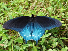 Closeup Of Beautiful Pipevine Swallowtail Butterfly